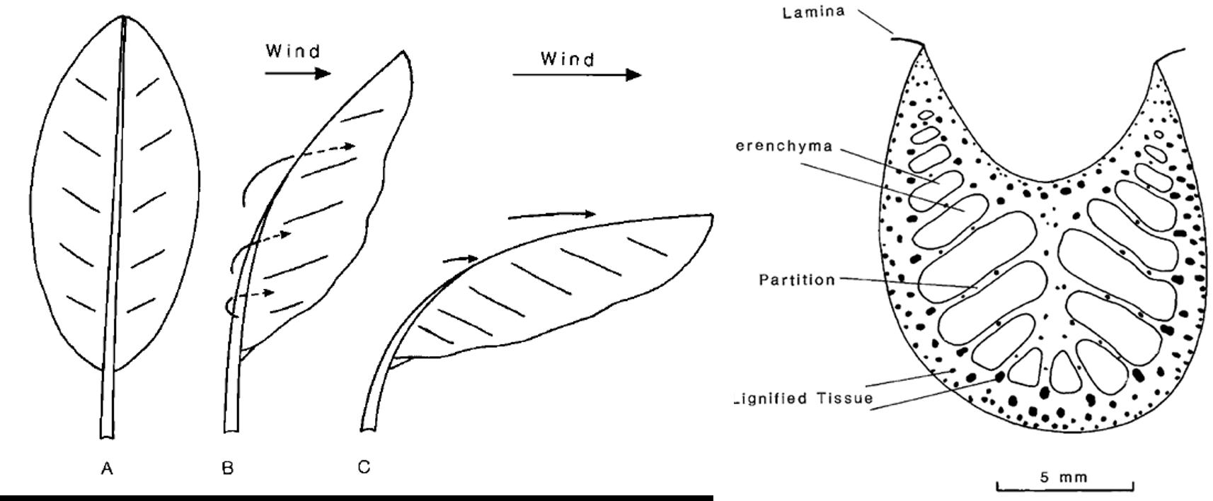 Figure 1: Deflection of bana petiole. Figure 2: Banana petiole crosssection