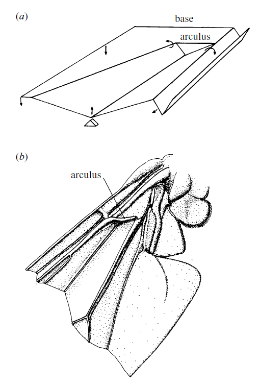 insect wing folds, structural mechanics