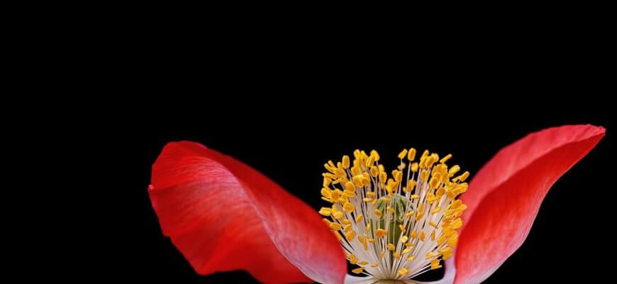 poppy-192784_1280