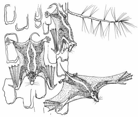 Hypothetical intermediate ancestor of bats showing further development of the wing[7].