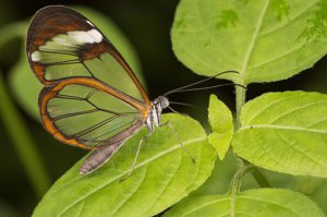 Greta oto, Glasswing butterfly