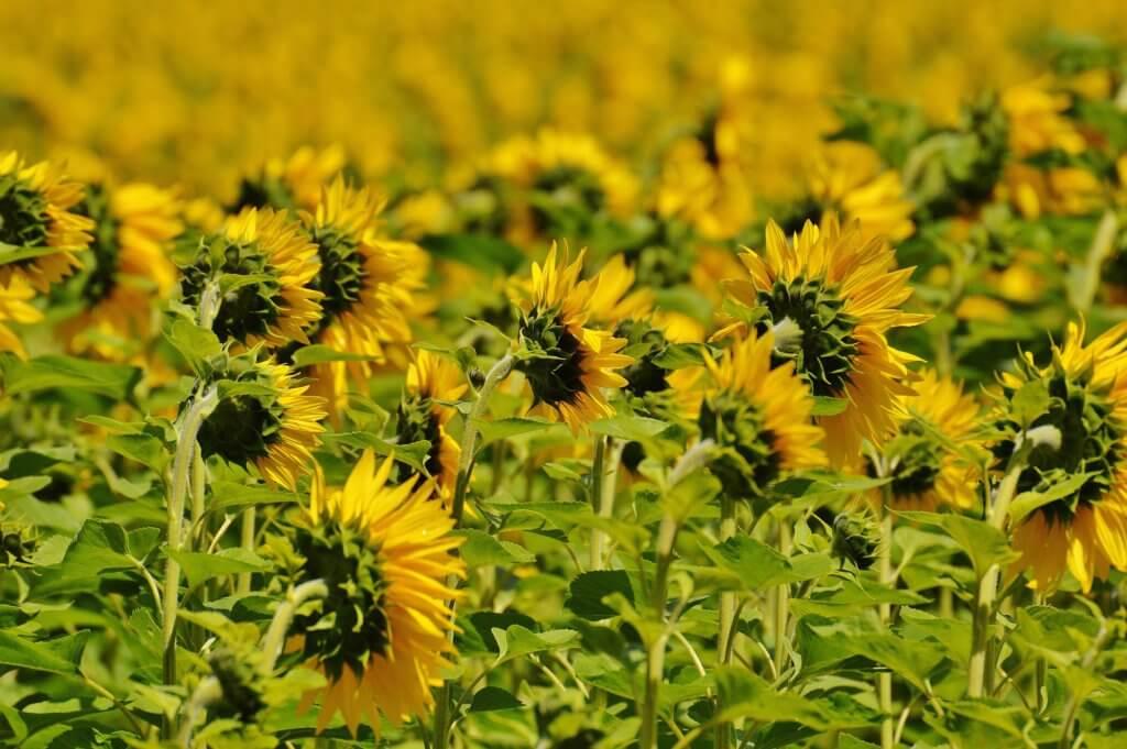 sunflower-1533309_1920