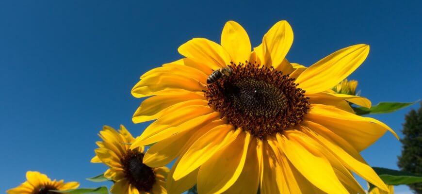 sun-flower-1569455_1920