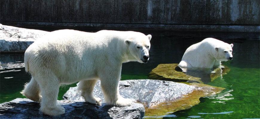 Polar Bears at the Wilhelm Zoo, Stuttgart/Germany.