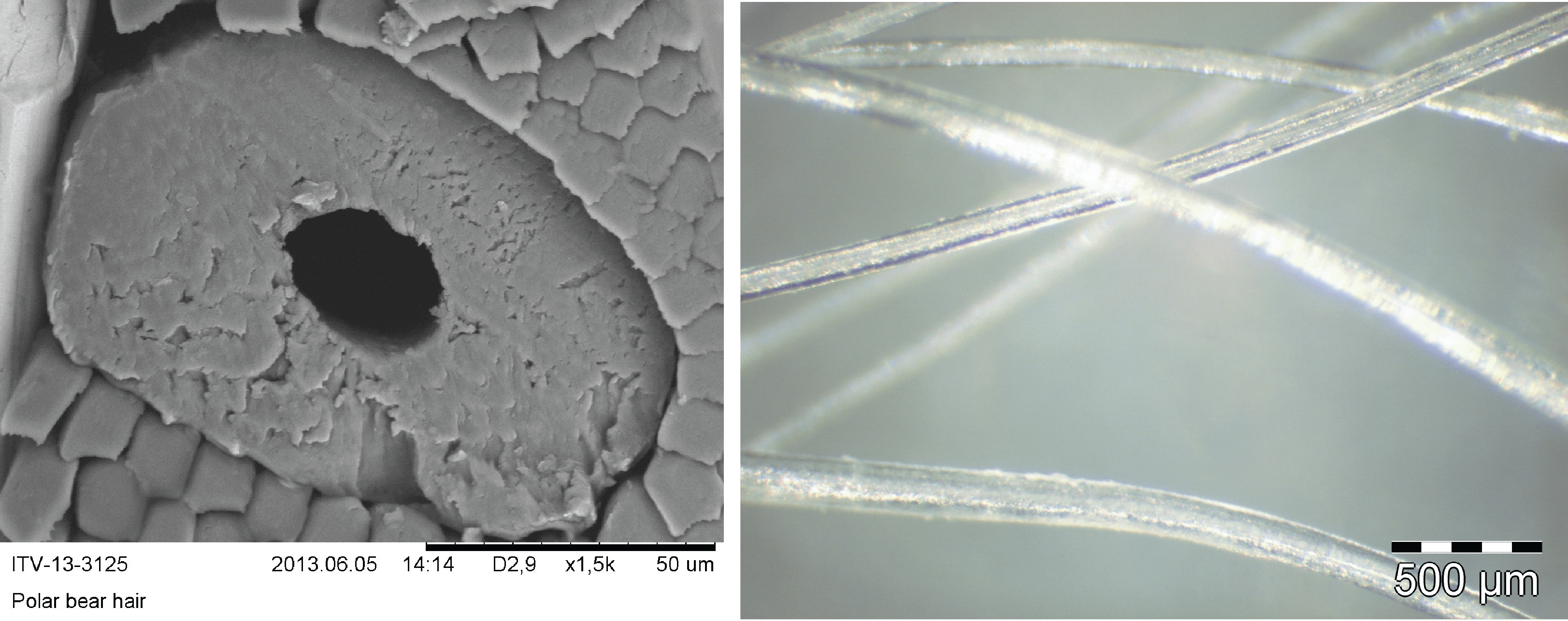 Figure 2. Left: A cross sectional SEM image of the polar bear's hair. Right: Microscopic image of the polar bear transparent hairs [4].