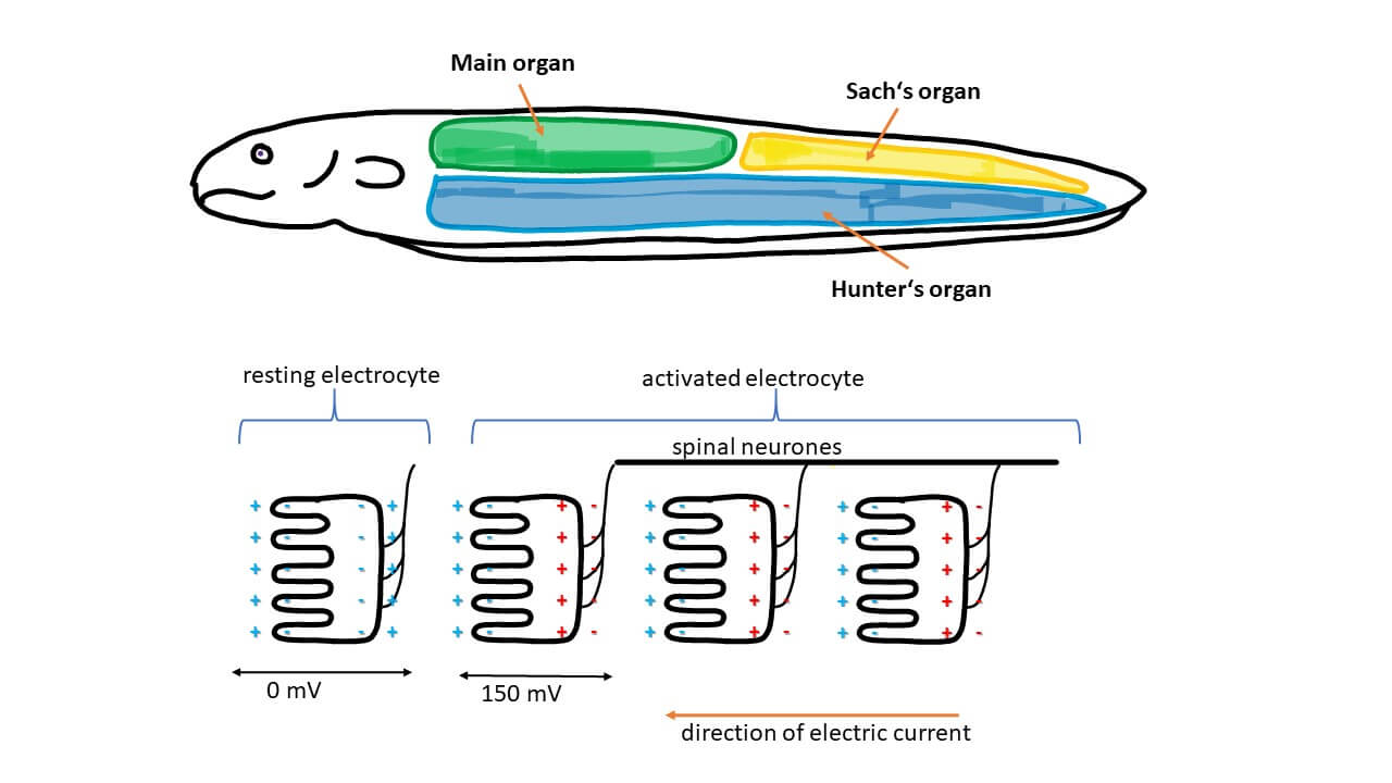 Nice Electric Eel Voltage Pictures >> How Do Electric Eels Generate ...